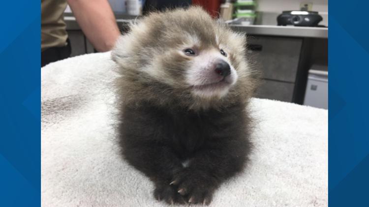 marvin red panda