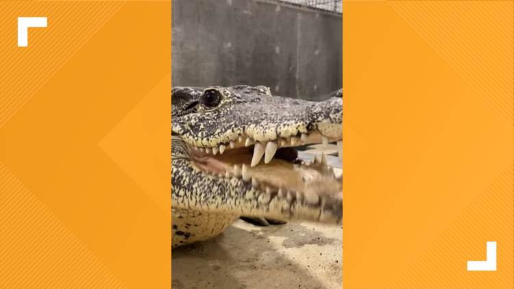 This croc is stylish!   Zoo Knoxville introduces Rose, their Cuban crocodile