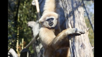 Celebrate Georgie the gibbon's sweet 16 this Saturday at Zoo Knoxville