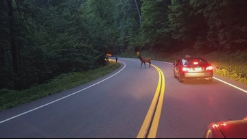 Great Smoky Mountains elk take high road to Tennessee   wbir com