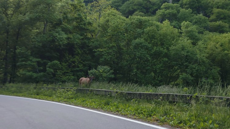 Photo of a young bull elk along U.S. 441 on the Tennessee side of the Great Smoky Mountains. Photo provided by Steve Ellis.