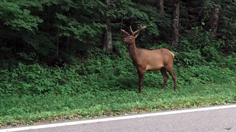 01 Elk Newfound Gap Road Tennessee Great Smoky Mountains National Park 2019