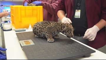 Jaguar cubs born at Memphis Zoo