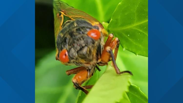 Photos: 17-year Brood X cicadas emerge in East Tennessee