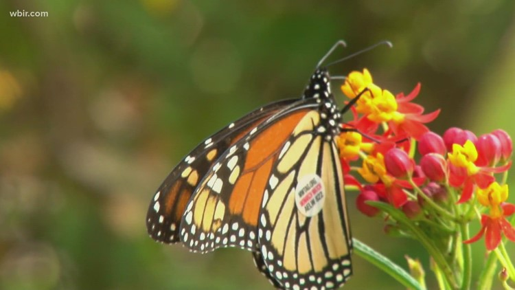 UT Gardens tags and releases 200 butterflies for population density and migration research