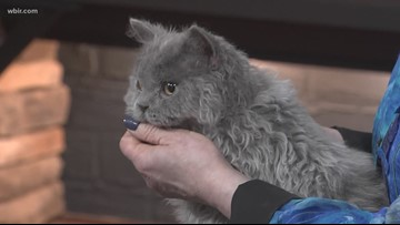 Cat show coming to Knoxville this weekend