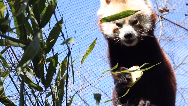 Welcome to Knoxville, Doofa! | Zoo Knoxville introduces new red panda