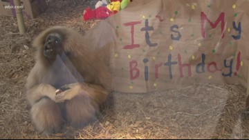 Zoo Knoxville celebrates Georgie the gibbon's sweet 16