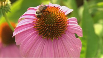 Tennessee purple coneflower rebounds from brink of extinction