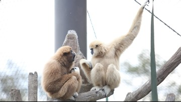 Meet Georgie & Malay, Zoo Knoxville's playful gibbons