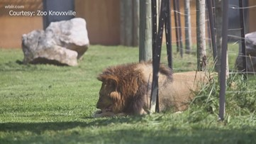 The Lion King: Zoo Knoxville edition