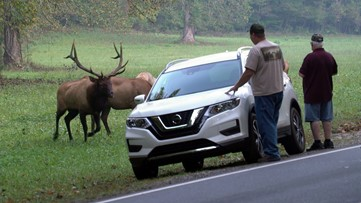 Elk ram cars in Smokies; park stresses safe distance rules