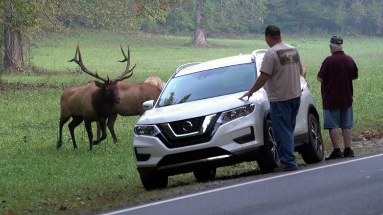 Bull Elk charges visitors Great Smoky Mountains Oconaluftee Smokies GSMNP