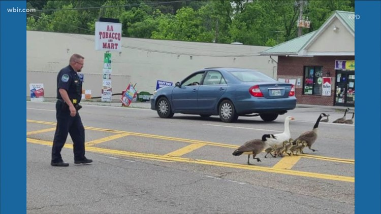 Knoxville police officer helps geese cross the road