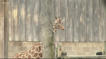 Zoo Knoxville says goodbye to Patches the Giraffe