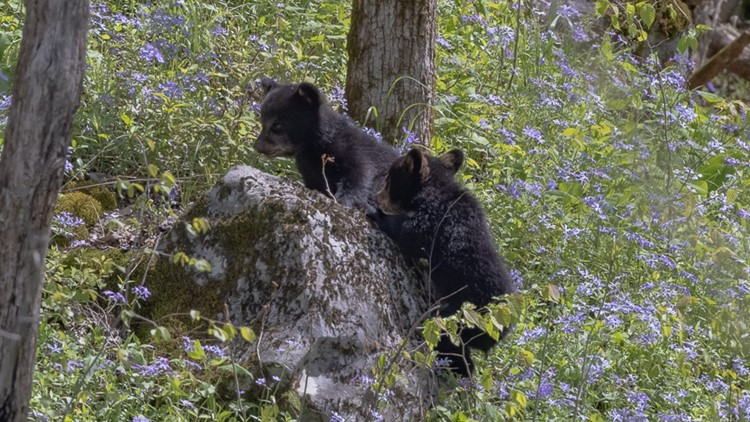 Wildlife photographer captures scenes of cubs at play in Smokies