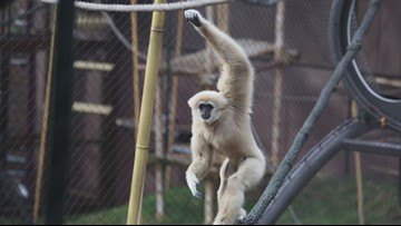 Welcome to the Zoo Knoxville Gibbon Cam!
