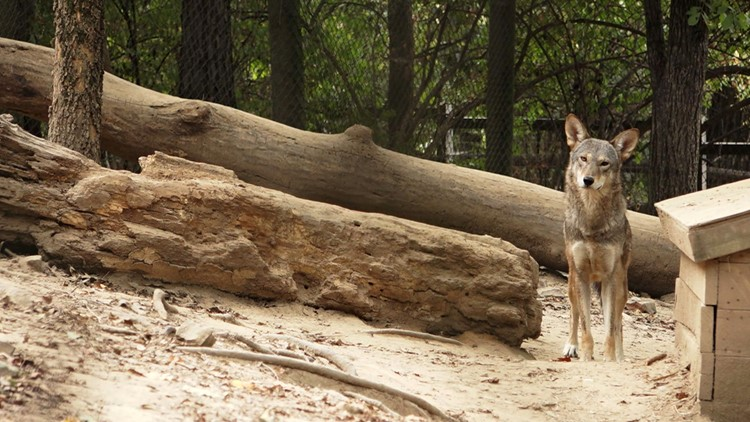 Red Wolf habitat Zoo Knoxville Lone