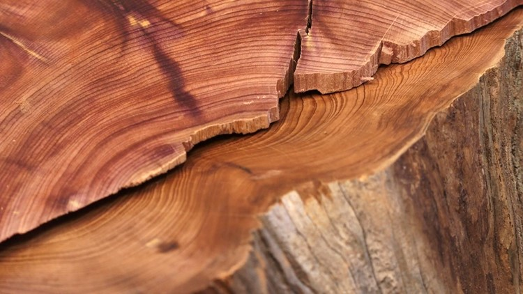 Eastern Red Cedar Tree Trunk Sample TVA dendrochronology tree ring climate science
