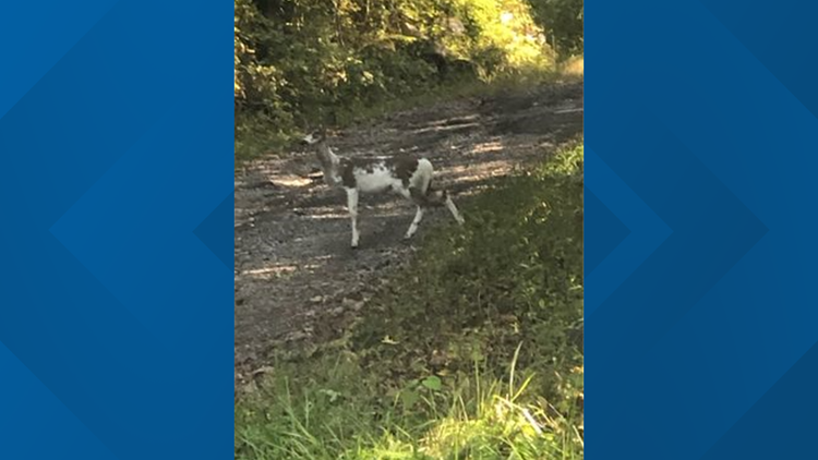Rare deer with patchy white coat spotted in Grainger County