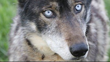 No Man's Land | In Tennessee, wolf-dogs find solace in unique sanctuary