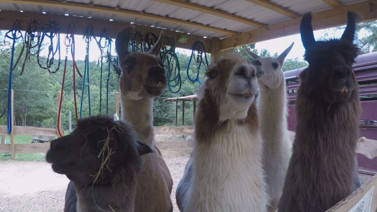Each llama has a different personality, but they all love to eat!