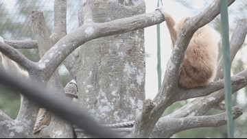 What does a gibbon sound like? Zoo Knoxville's Georgie  shows off his voice