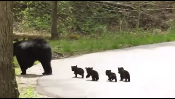 Momma bear & four tiny cubs adorably cross the road in Cades Cove