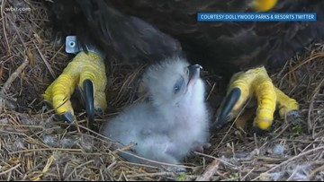 Fine feathery family: Eaglet hatches at Dollywood