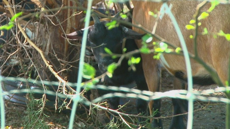 Maryville College uses goats to manage kudzu