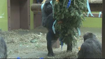 Animals at Zoo Knoxville enjoy Christmas tree treats