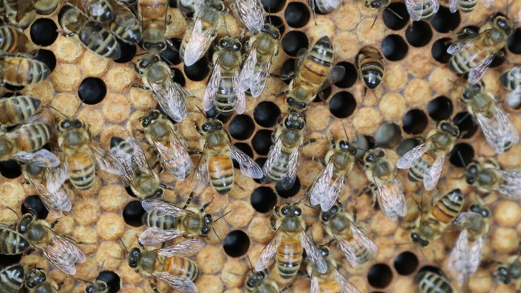 Bees are hard at work making honey