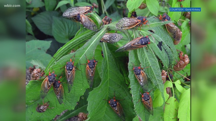 You can help researchers document the 17-year cicadas