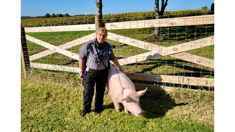 Wee wee wee   Knoxville Animal Control wrangles wayward pigs