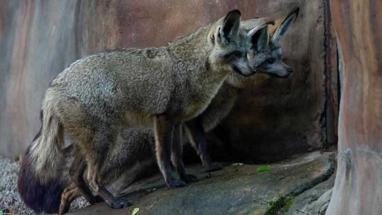 Da-na-na-na-na, Batfox! Zoo Knoxville welcomes a new pair of adorable bat-eared foxes