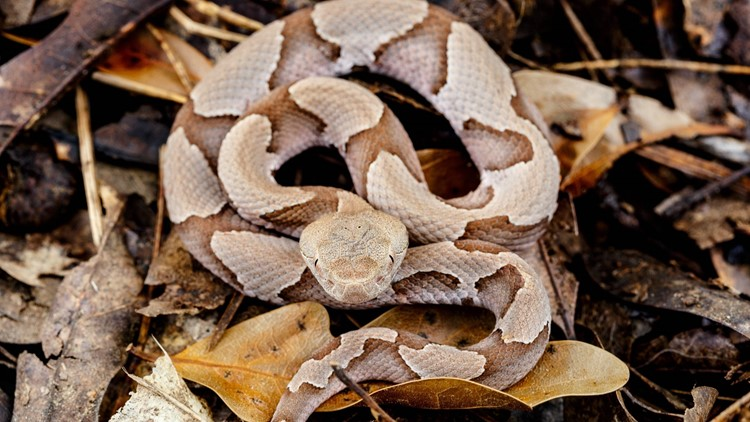 Venomous and tiny: It's baby copperhead season in Tennessee