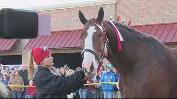 Budweiser Clydesdales are in the Tri-Cities this week