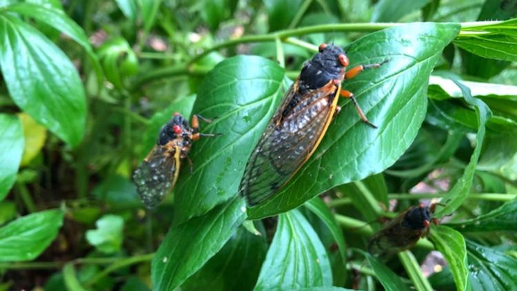 Answers to your questions about Brood X cicadas