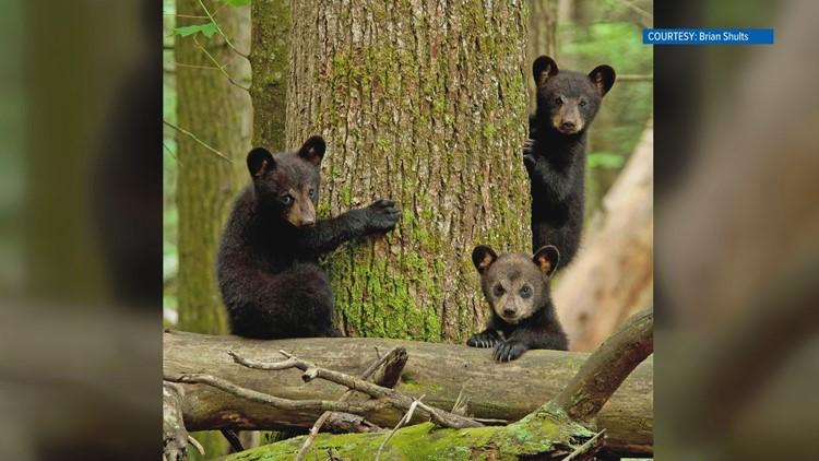 Three bears by Brian Shults