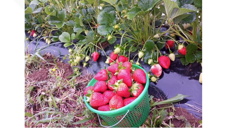 It's strawberry season in Tennessee