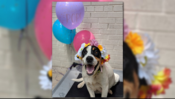 Stop what you're doing because this pregnant foster dog just had the cutest maternity photo shoot