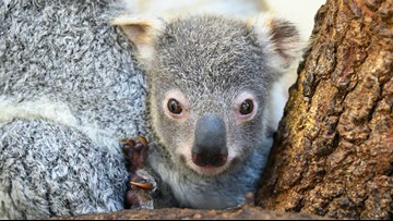 Koala born in Florida zoo becomes symbol for hope for Australia