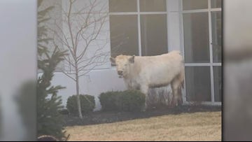 VIDEO: Runaway cow runs from Indiana police to Chick-fil-A