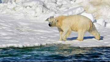 Polar bears invade island group, start chasing people