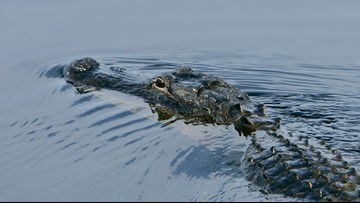 Alligator bites hunter as season gets started in Florida