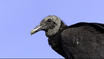 A smell 'like a thousand rotting corpses'   Florida vacation home invaded by vomiting vultures