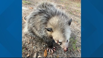 Golfers beat baby opossum blind, wildlife rescue says