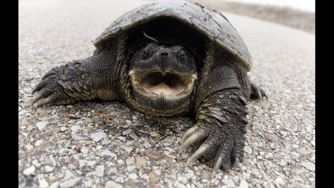 A dastardly snapping turtle has you by the finger  What's your next