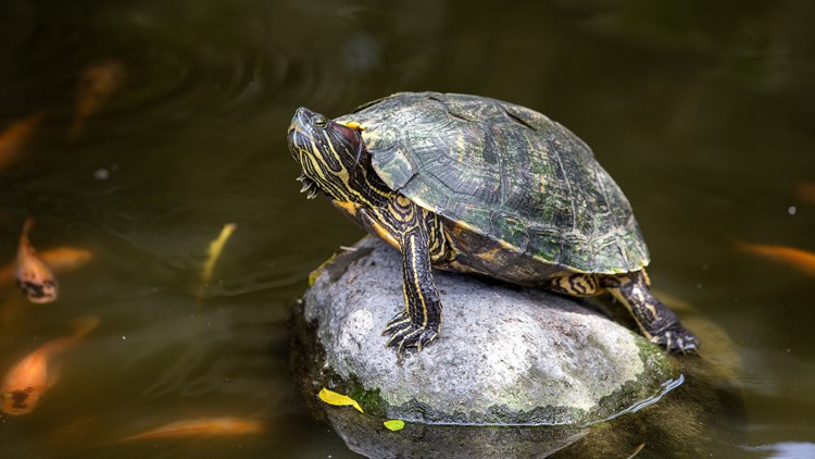 Officers stake out Atlanta airport, nab accused turtle trafficker
